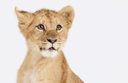 к чему снится львенок мужчине