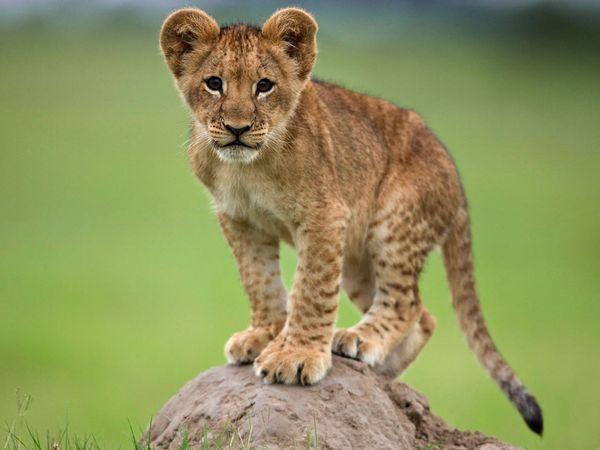 видеть во сне львенка