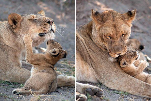 к чему снится львенок женщине