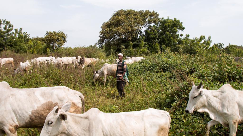 Тощие коровы
