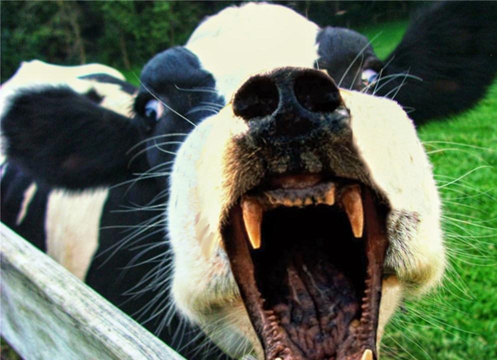 Видеть во сне бодающихся коров thumbnail