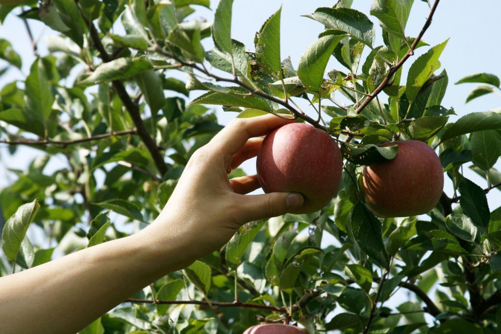 Толкование снов про яблоки