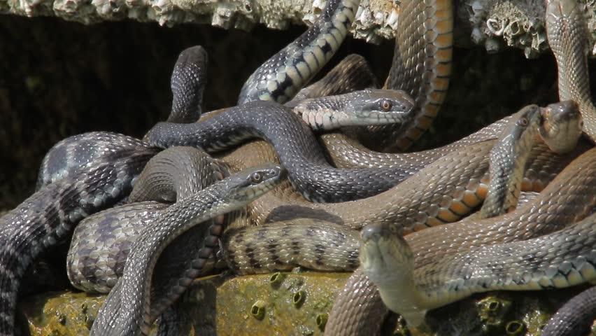Фото огромные кучи змей