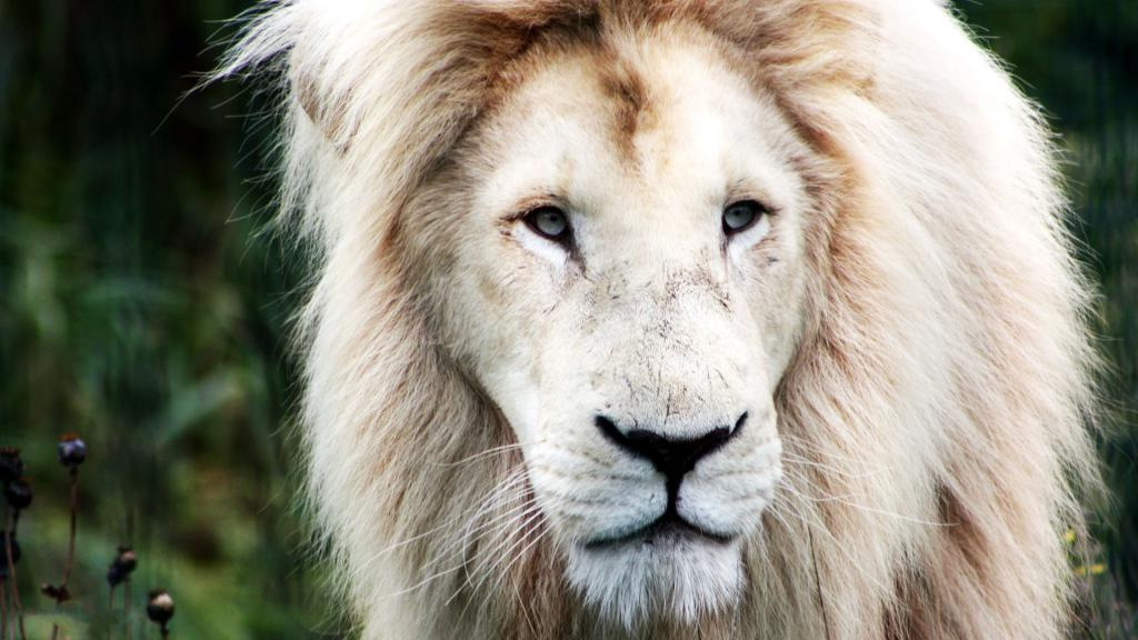 картинка на аву белый лев лица