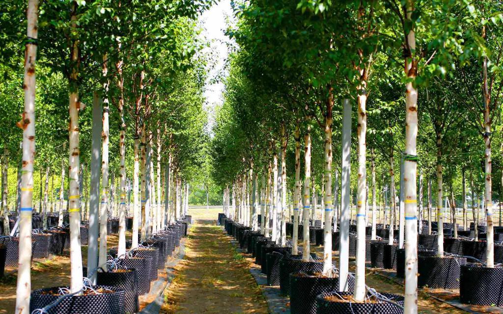 высаженные деревья