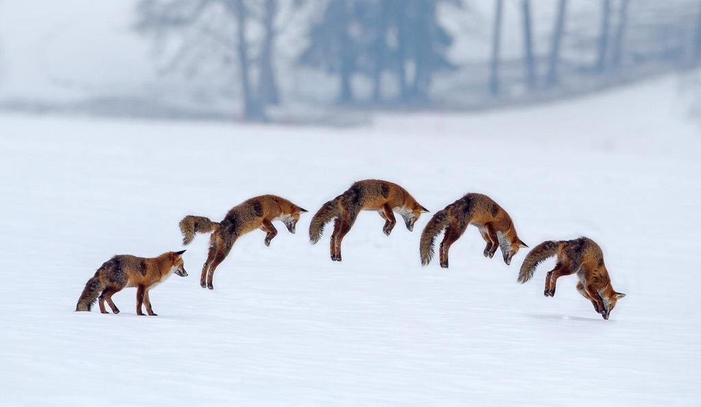 стиль охоты лисиц!