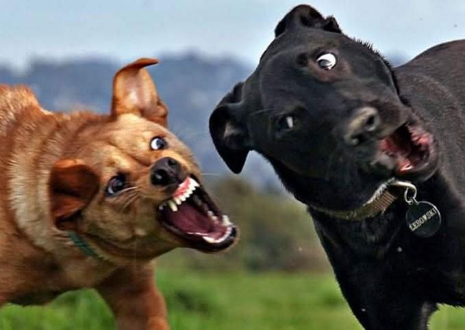 Во сне видеть драку собак thumbnail