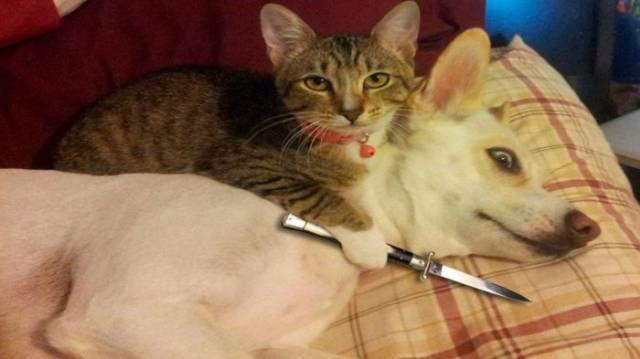 Противостояние кошки и собаки