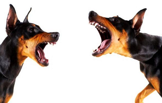 большая собака лает
