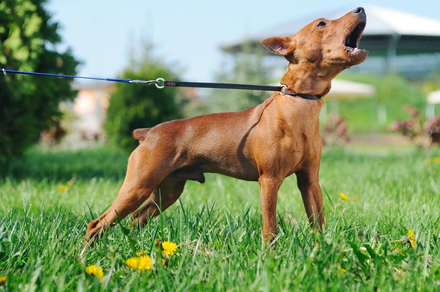 рыжая собака лает