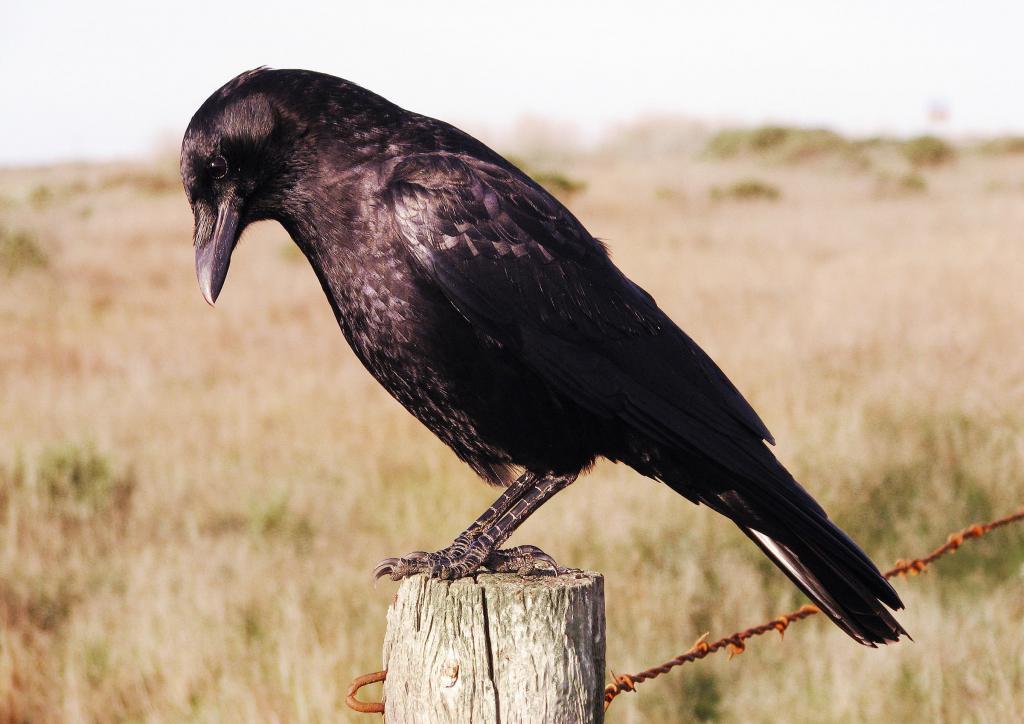 Образ говорящего ворона – один из немногих положительных, которыми может похвастаться эта птица.