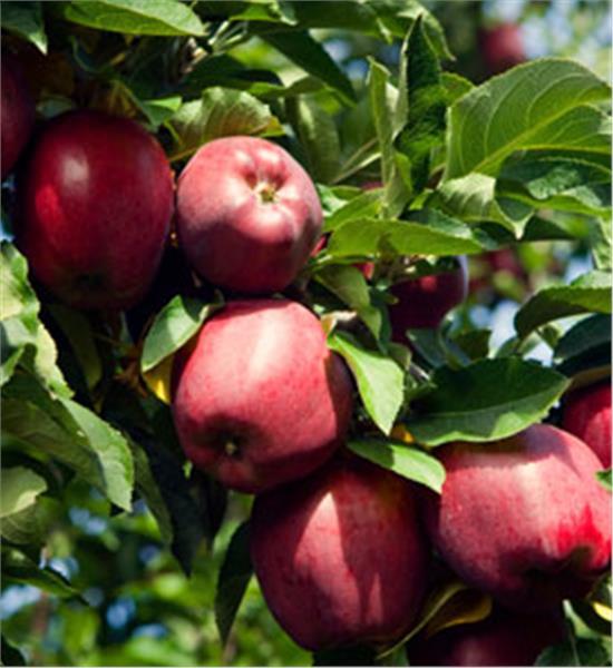 К чему снятся яблоки на дереве