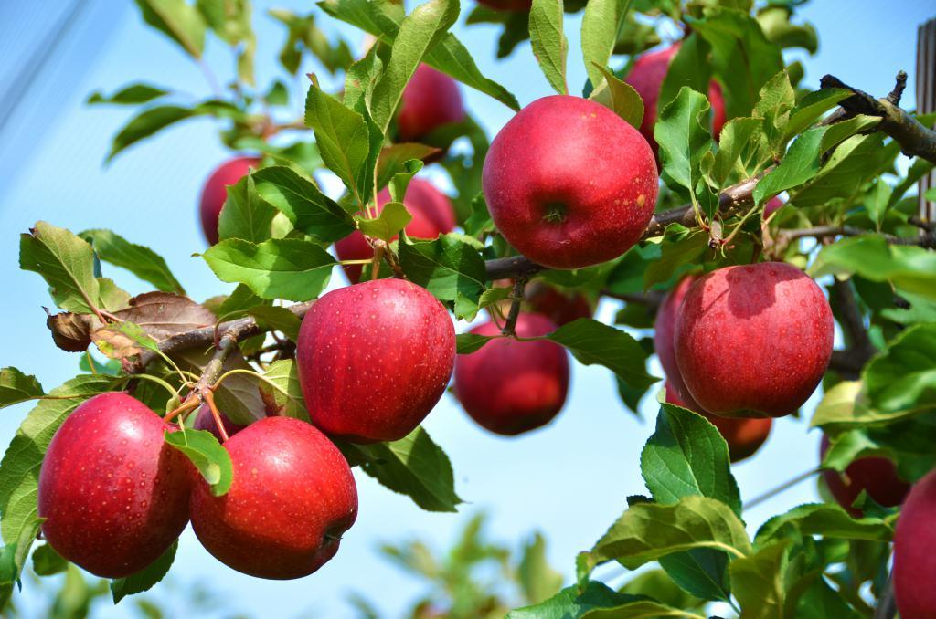 К чему снится с дерева срывать яблоки