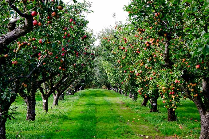 К чему снятся яблоки красные на дереве