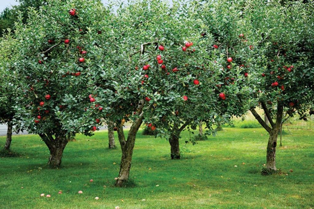 К чему снятся яблоки большие на дереве