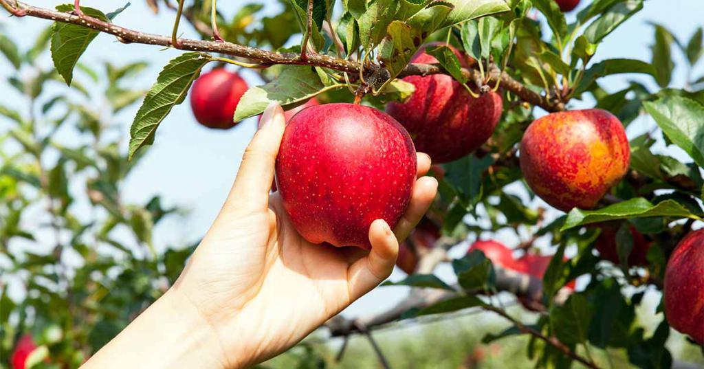 К чему снятся яблоки на дереве спелые