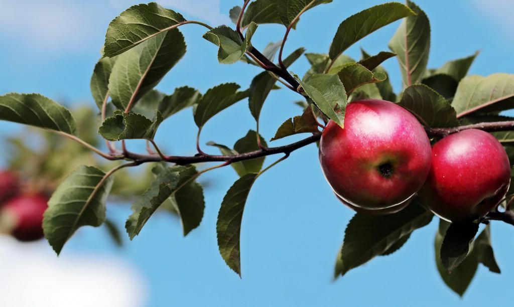 К чему снятся яблоки женщине на дереве
