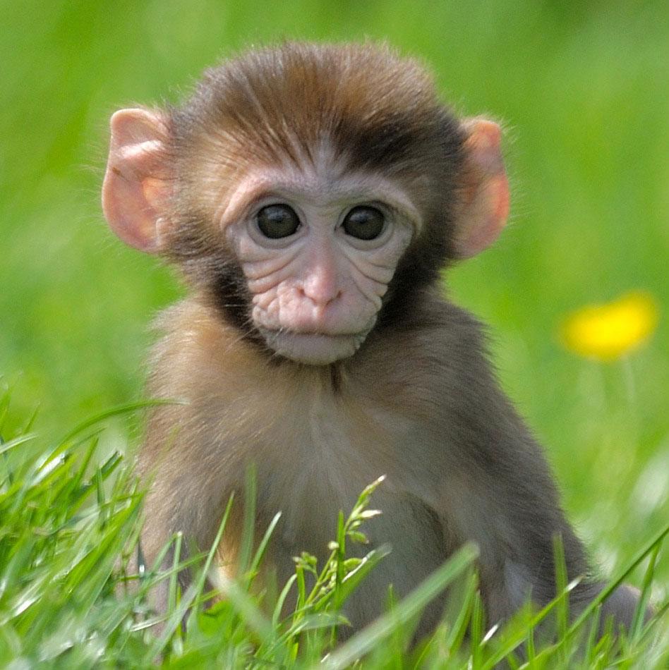 к чему снится обезьяна большая