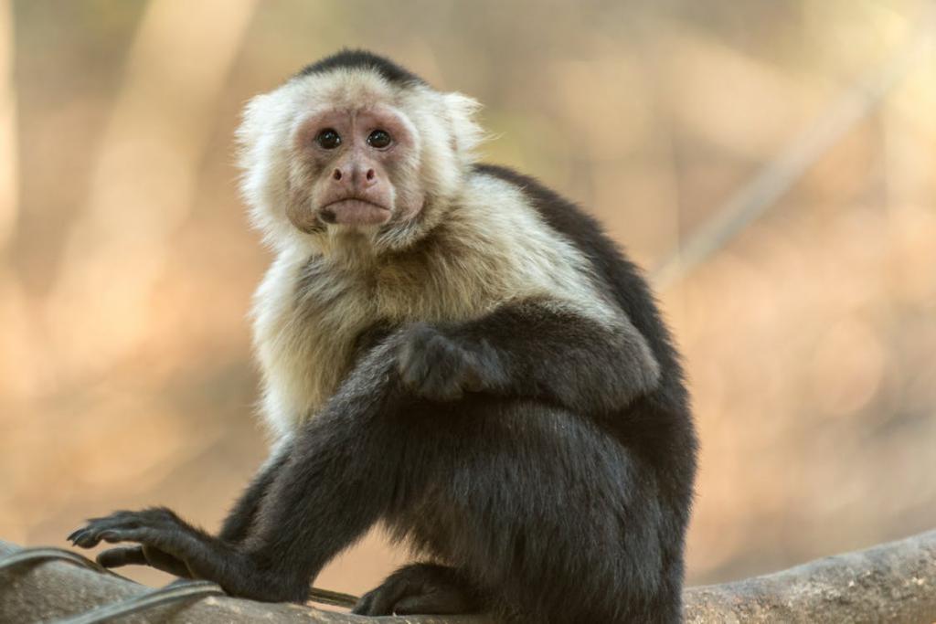 к чему снятся обезьяны во сне женщине