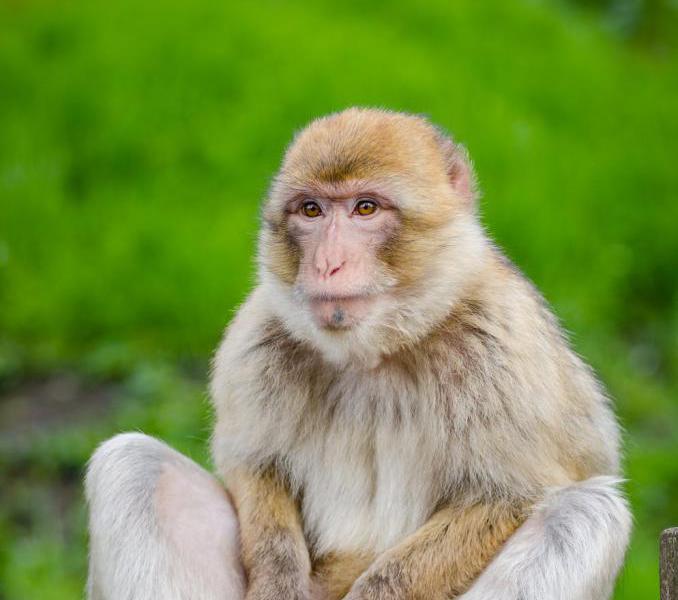 к чему снится обезьяна женщине на руках