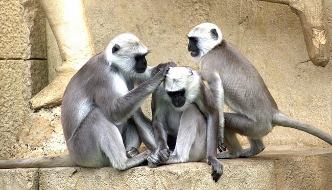 к чему снятся обезьяны женщинам по соннику