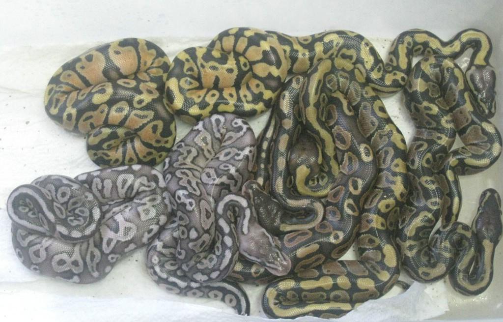 клубок змей в сновидении