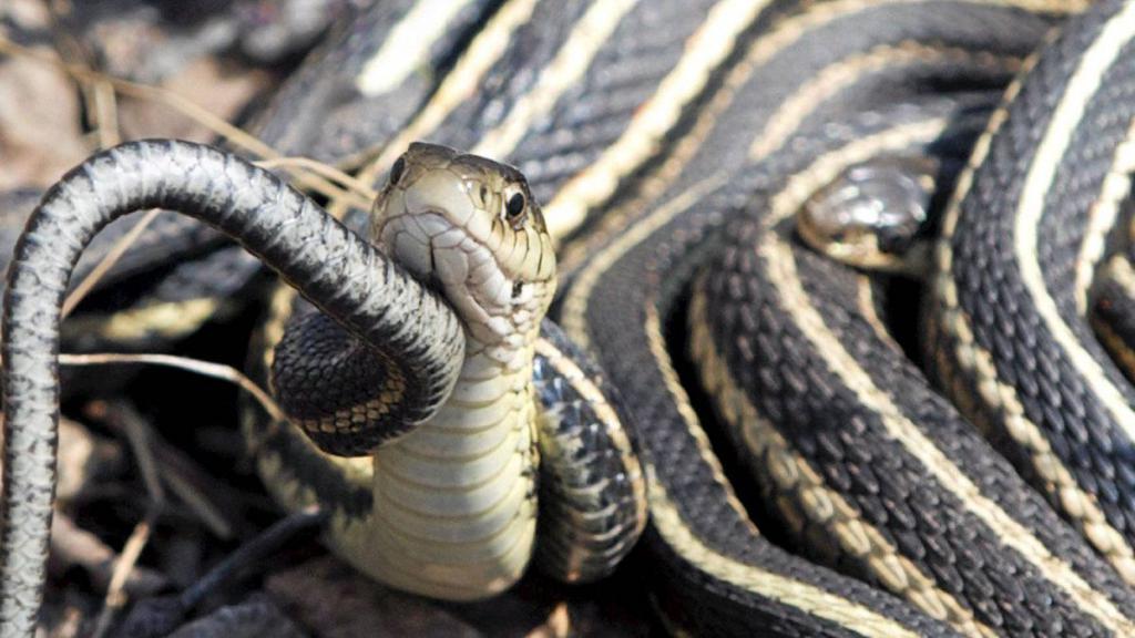 клубок шипящих змей во сне