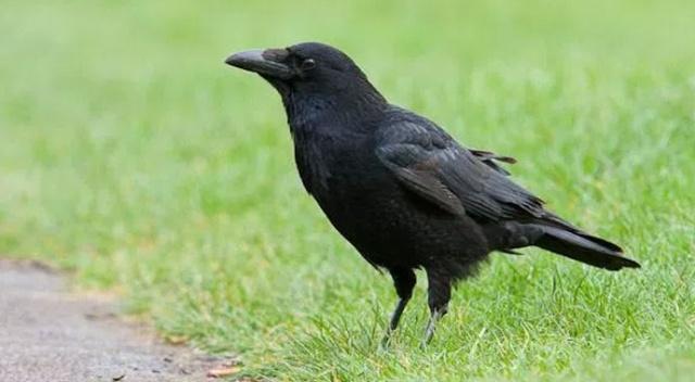 Черная ворона на траве