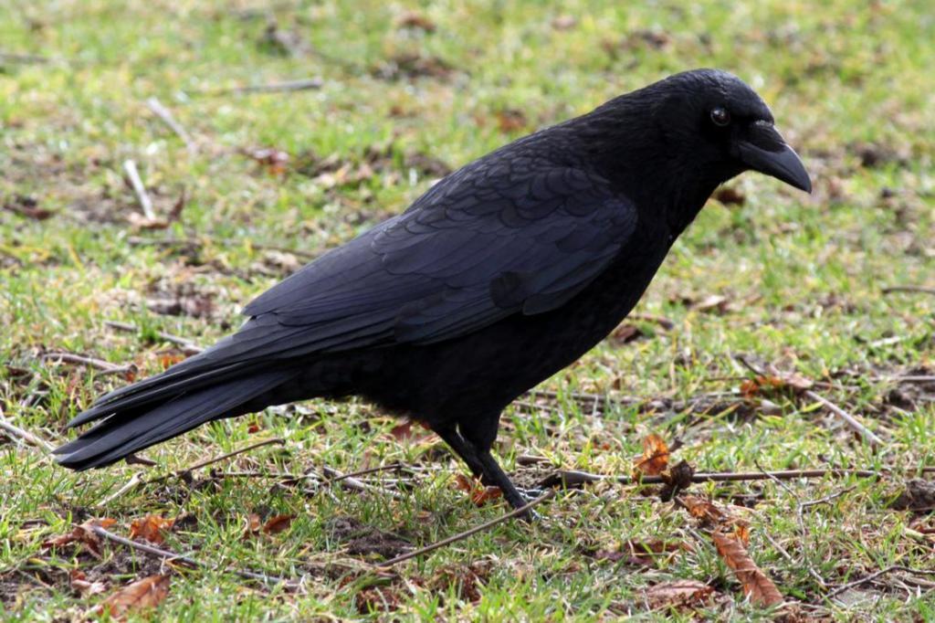 города черные птицы имена и фото кличке стампи всю