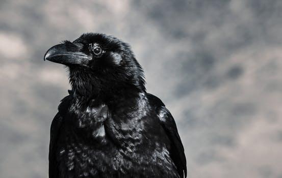 К чему снится ворона черная в доме thumbnail