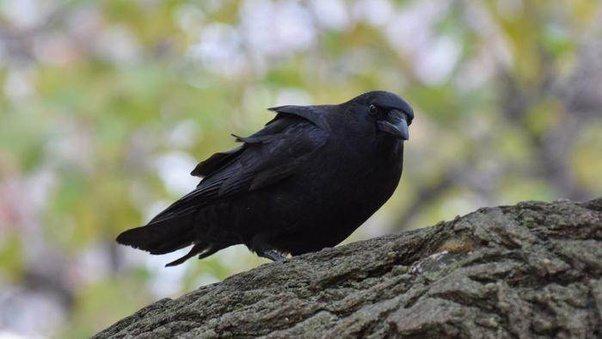 Черная ворона на ветке