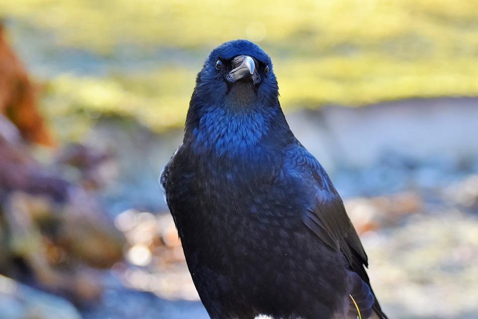 Красивый черный ворон