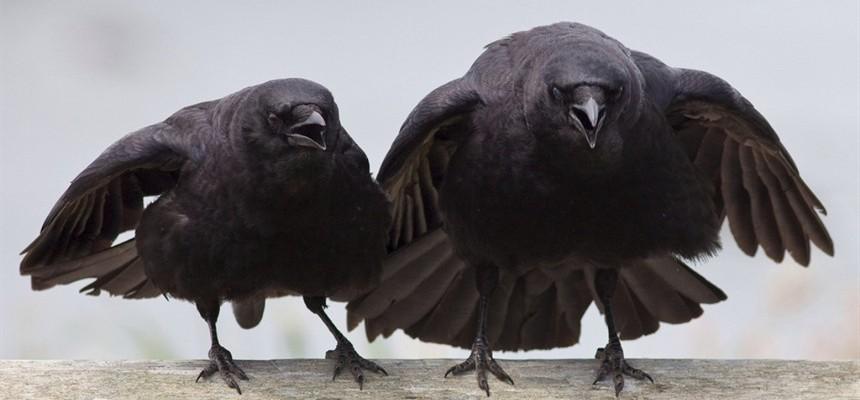 Две черных вороны