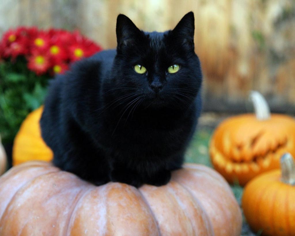 черная кошка сонник миллера