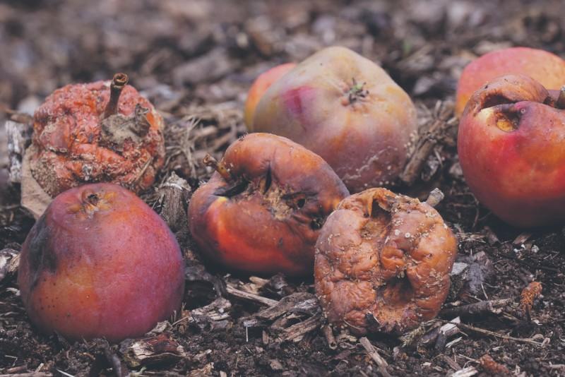 Гнилые яблоки на земле