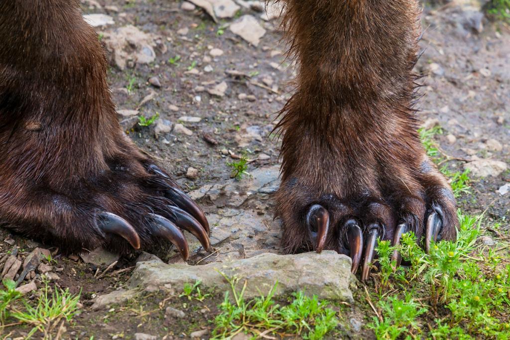 лапы бурого медведя
