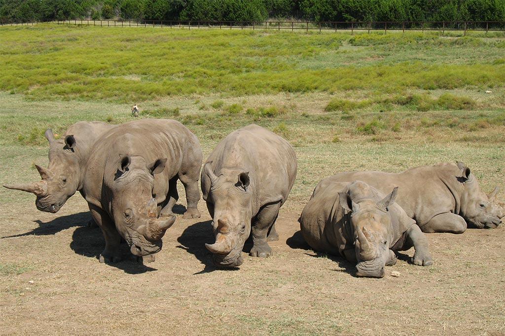 фото стадо носорогов готовые шкафы-купе