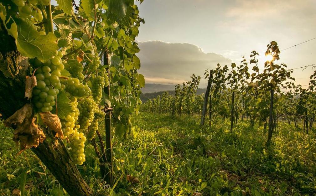 Приснился крупный виноград